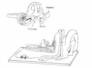 Human Ear Model Diagram